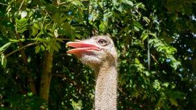 Холодный страус усмехается Конец-вверх Стоковое Изображение