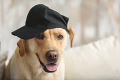 Холодный labrador нося черную крышку дома стоковое изображение