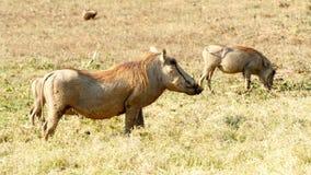 Холодок - africanus Phacochoerus общее warthog Стоковые Изображения RF