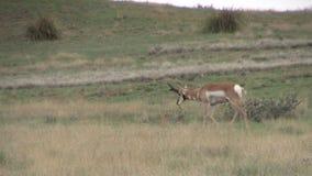Ход самца оленя Pronghorn Стоковые Фотографии RF