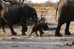 Ход семьи африканского слона Стоковые Фотографии RF