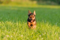 ход собаки счастливый Стоковое Изображение