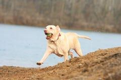 Ход собаки стоковые изображения rf