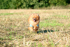 ход собаки pomeranian Портрет милой pomeranian собаки Собака осени собака в поле Стоковая Фотография RF