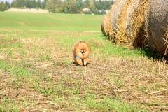 ход собаки pomeranian Портрет милой pomeranian собаки Собака осени собака в поле Стоковые Изображения