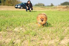 ход собаки pomeranian Портрет милой pomeranian собаки Собака осени собака в поле Стоковое фото RF