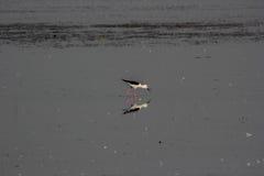 Ходули подогнали чернотой, который, Nalsarovar, Индия Стоковое Фото