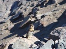 Храбрый любознательный Сибирский бурундук Стоковые Фотографии RF