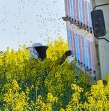 Хранитель пчелы работая на крапивницах Стоковая Фотография