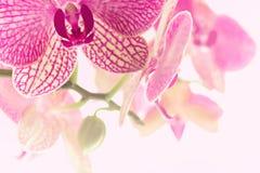 Хранитель экрана орхидеи хворостин зацветая Стоковые Фото
