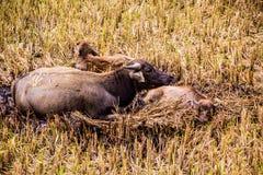 Хранят 2 буйвола отдыхающ в Стоковые Фотографии RF