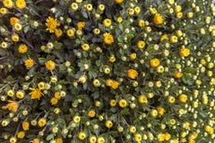Хризантема - деталь цветков стоковое изображение rf