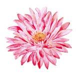 Хризантема Объект изолированный акварелью Стоковое фото RF