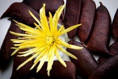 Хризантема паука Стоковые Изображения RF