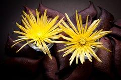 Хризантема паука Стоковые Изображения