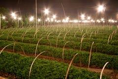 Хризантема питомника к ноча Стоковое фото RF