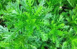 Хризантема сада Стоковые Фотографии RF