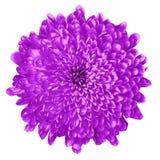 Хризантема сирени цветка изолированная на белой предпосылке цветок бутона близкий вверх элемент конструкции рождества колокола Стоковые Изображения