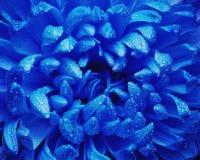 Хризантема с падениями воды Стоковая Фотография RF