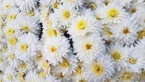 хризантема цветет белизна Стоковое Изображение