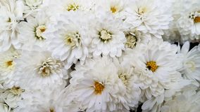 хризантема цветет белизна Стоковое Фото