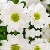 хризантема цветет белизна Стоковые Изображения RF