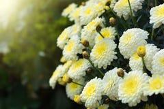 хризантема цветет белизна Стоковая Фотография RF