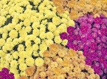 Хризантема цветет предпосылка стоковая фотография rf