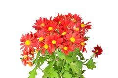 Хризантема цветет росток Стоковое фото RF