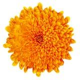 Хризантема цветка оранжевая изолированная на белой предпосылке цветок бутона близкий вверх элемент конструкции рождества колокола Стоковая Фотография