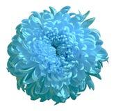 Хризантема цветка cyan изолированная на белой предпосылке цветок бутона близкий вверх элемент конструкции рождества колокола Стоковые Изображения RF