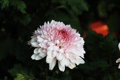 Хризантема Стоковые Изображения RF