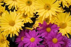 хризантема Стоковые Фото