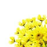 хризантема Стоковые Изображения