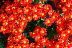 хризантема Стоковое Фото