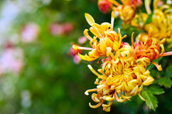 Хризантема Стоковые Фотографии RF