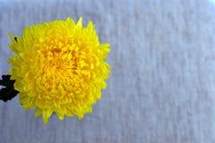 Хризантема Стоковое Изображение