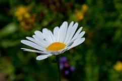 Хризантема, Стоковое фото RF