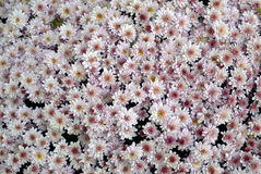 Хризантема Стоковое Изображение RF