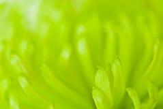 хризантема Стоковое фото RF
