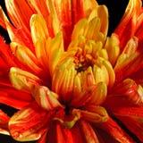 Хризантема Стоковая Фотография RF