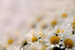хризантема colsed вверх стоковая фотография rf