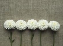 хризантемы белые Стоковое Изображение RF