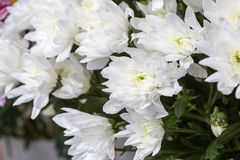 хризантемы белые Стоковые Изображения RF