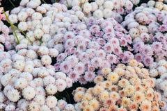 хризантемы белые Стоковое Фото