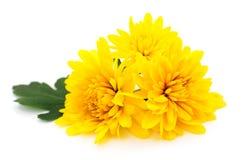 хризантемы белые Стоковое Изображение