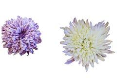 Хризантемы белых и сирени Стоковые Фото