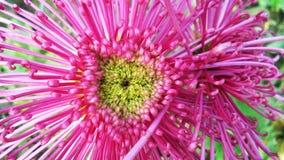 Хризантемы или ormums или chrysanths мам паука, цветковые растения рода хризантемы в сложноцветные семьи Стоковое Изображение RF