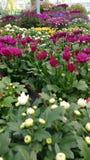 Хризантемы и заводы cineraria Стоковая Фотография
