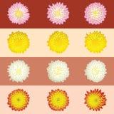 хризантемы малые иллюстрация штока